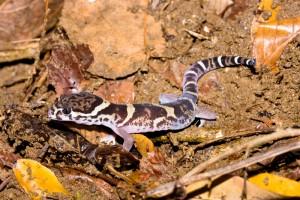 Banded Gecko Coleonyx mitratus