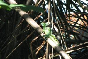Green basilisk 03 (2)