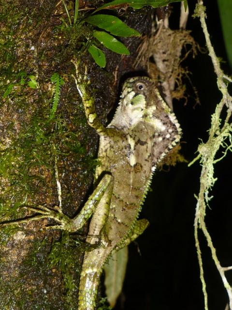 Corytophanes cristatus ~~~ Helmented Lizard