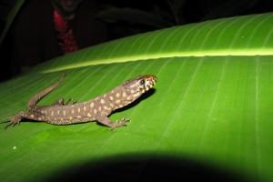 Lepidophyma reticulatun ~~~ CR Night Lizard