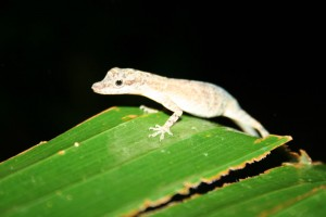 Snoted Anole