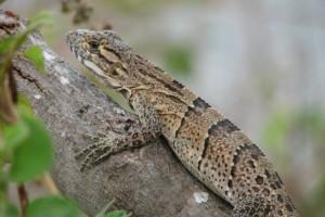 Spiny-tailed Iguana ~~~ Ctenosaura similis