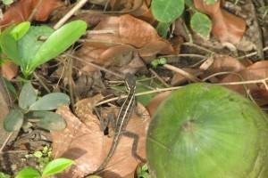 Basiliscus vittatus ~~~ Common brown/striped basilisk