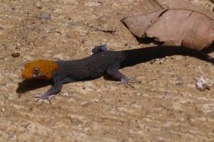 Yellow Head Gecko01