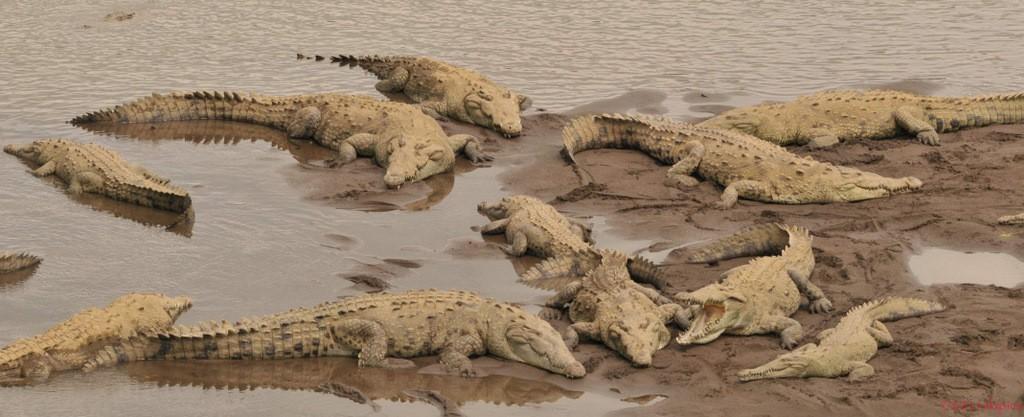 14 American crocodiles
