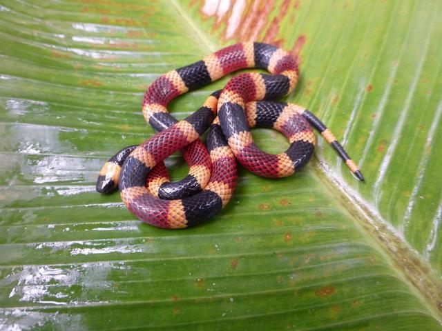 Coasta Rican Coral Snake