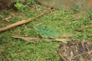 Green Basilisk Plumifrims Basiliscus