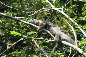 Iguana iguana 01