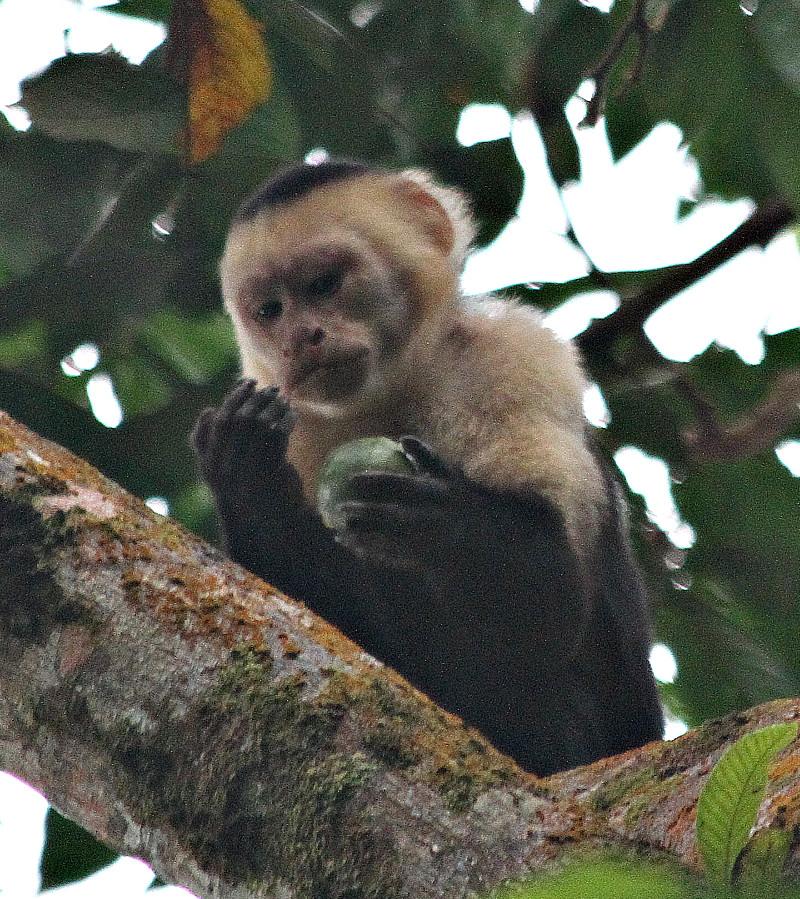 Monkey Capuchin02