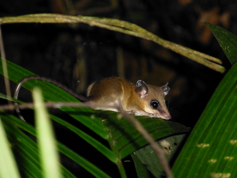 Marmosa mexicana ~~~ Mexican Mouse Opossum