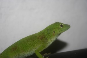 Norops biporcatus Canopoy Anole
