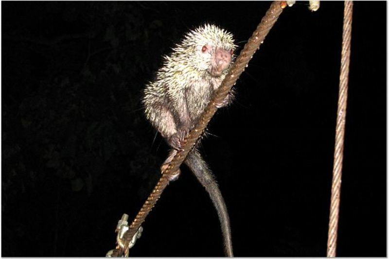Prehensile Tailed Porcupine ~~~ Coundou mexicanus