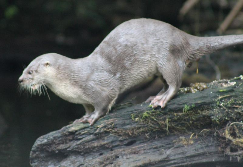 River Otter-001