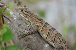 Spiny-tailed Iguana ~~~ Ctenosaura similis