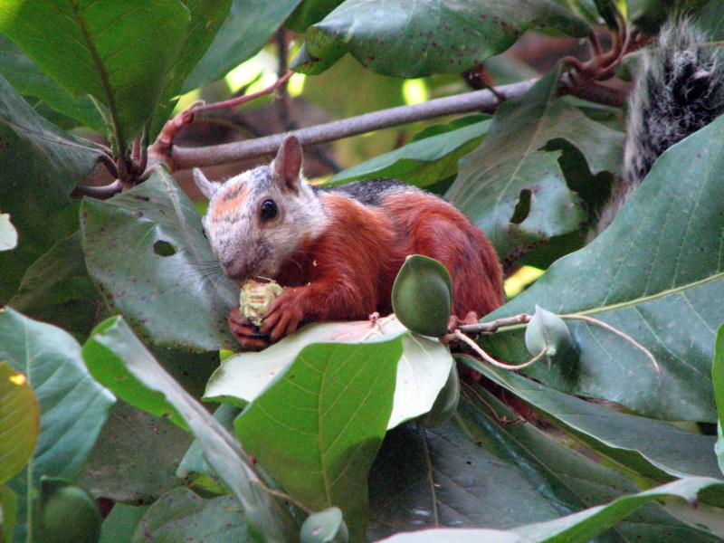 Variegated Squirrels (Sciurus variegatoides)