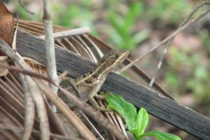 Common brown/striped basilisk