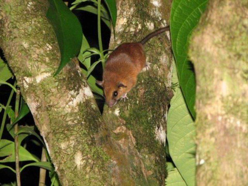 Nyctomys sumichrasti (Vesper Rat)